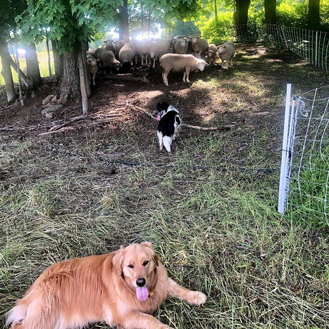 Ace has an intern staying with us this week. He's not really sure she's getting the whole moving sheep and fencing thing. But she's got the chillin' by the gator and looking cute down pat. #cutegoldenretrievers
