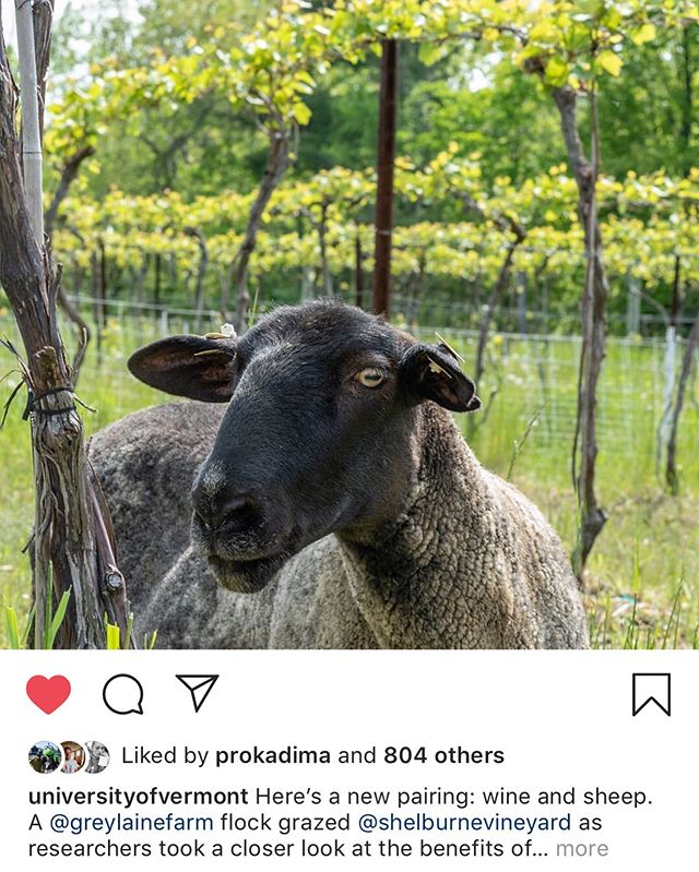 psyched to be on the uvm homepage with the story about grazing vineyards!  has been an absolute pleasure to be part of this study with such awesome people. look for the vineyard flock to double and triple as we expand over the years!