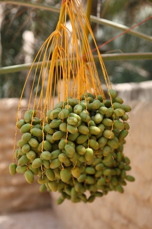 3387694-dates-on-a-palm-tree-al-ain-united-arab-emirates.jpg