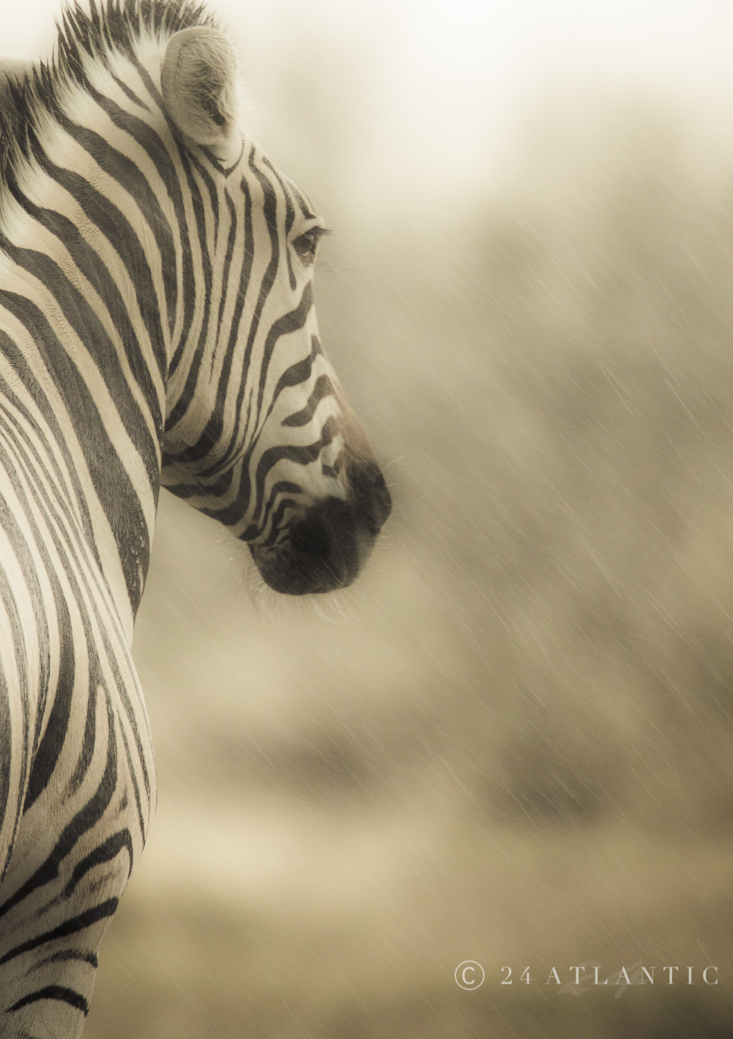 Zebra in the Rain - Etosha National Park