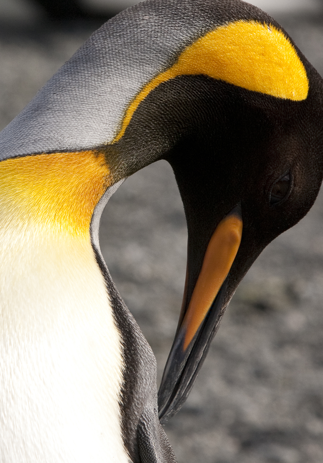 Golden Feathers © 24 Atlantic 2014  King Penguin.