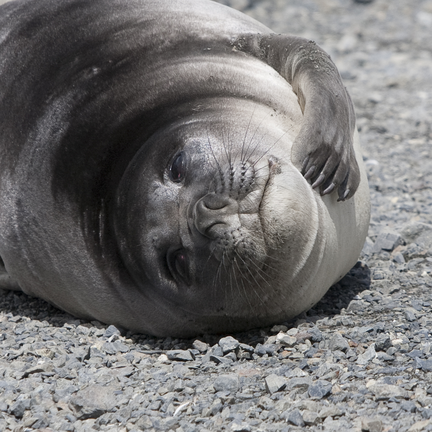 Just One Little Scratch © 24 Atlantic 2014  Elephant seal pup.