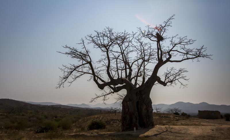 BaobabTrees  Lubango, Huila Provence  ©24Atlantic