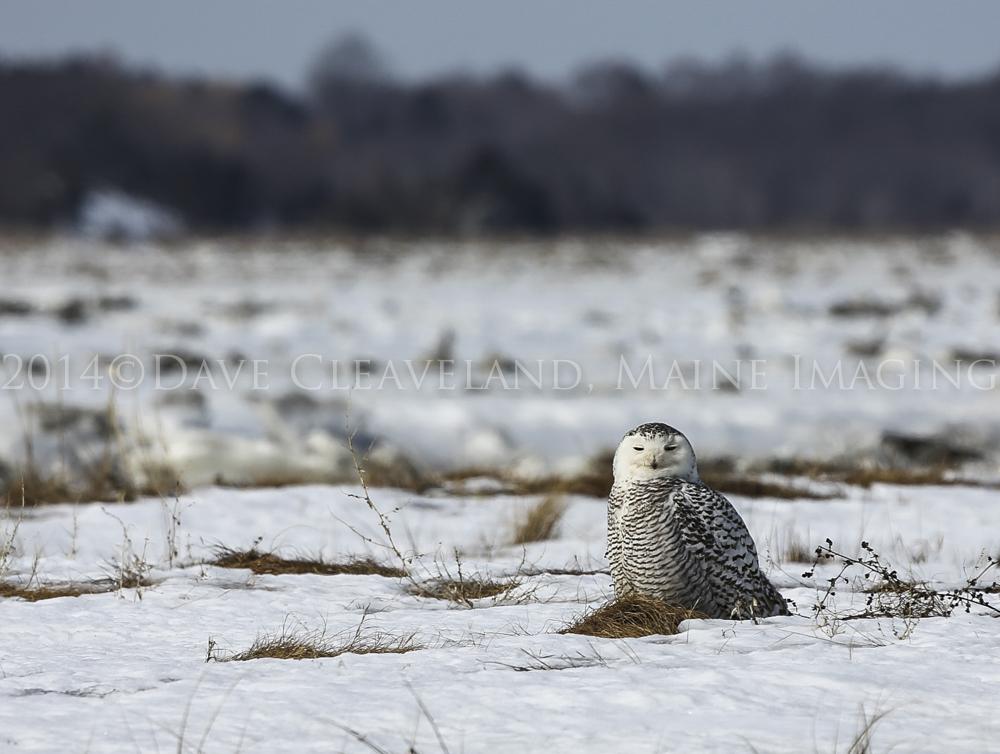 A distant Snowy Owl at Parker River National Wildlife Refuge.