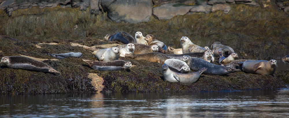 "Seals ""hauled out"" on a ledge in the Sheepscot River."