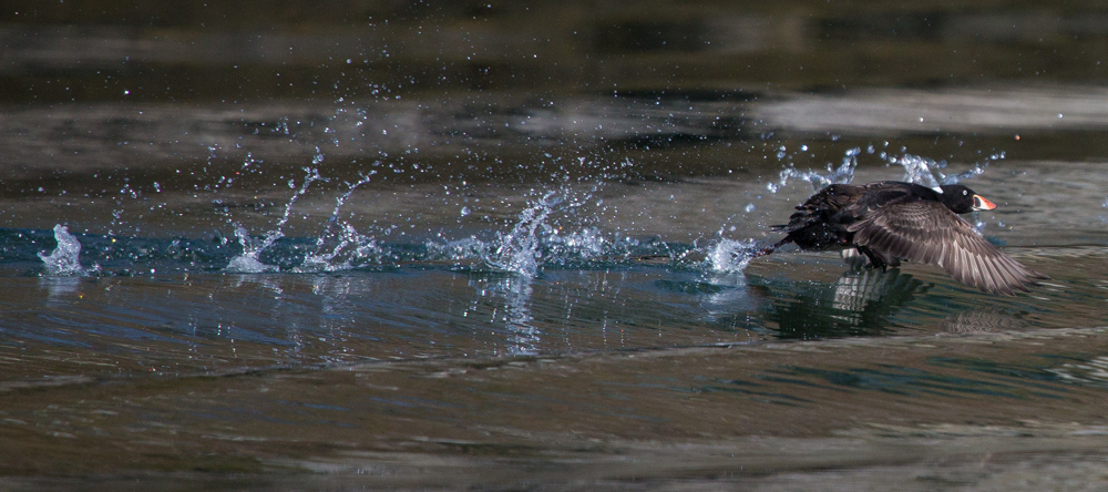 A Surf Scoter on takeoff.