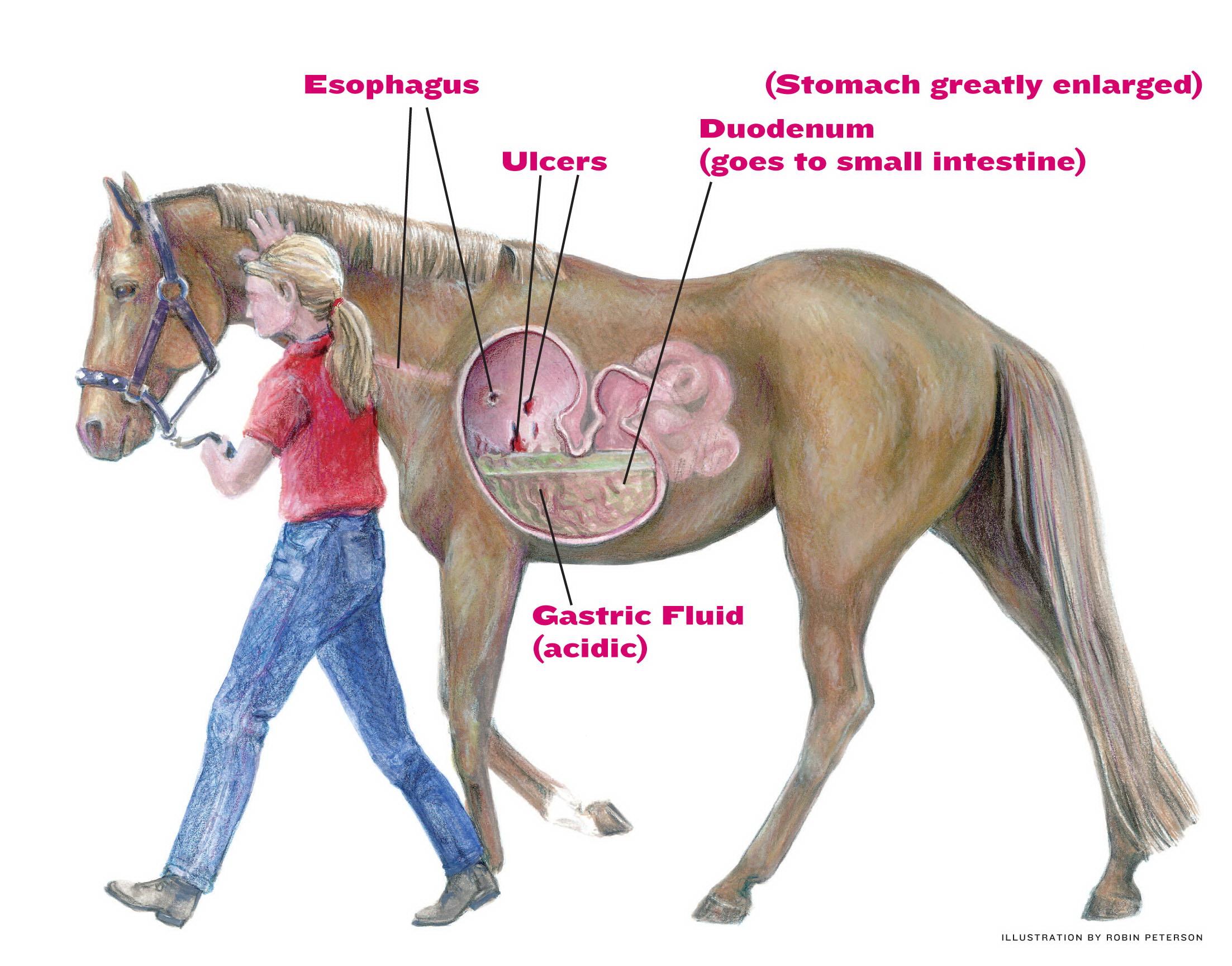Bilde lånt fra: http://americashorsedaily.com/wp-content/uploads/Ulcers-illustration_text.jpg
