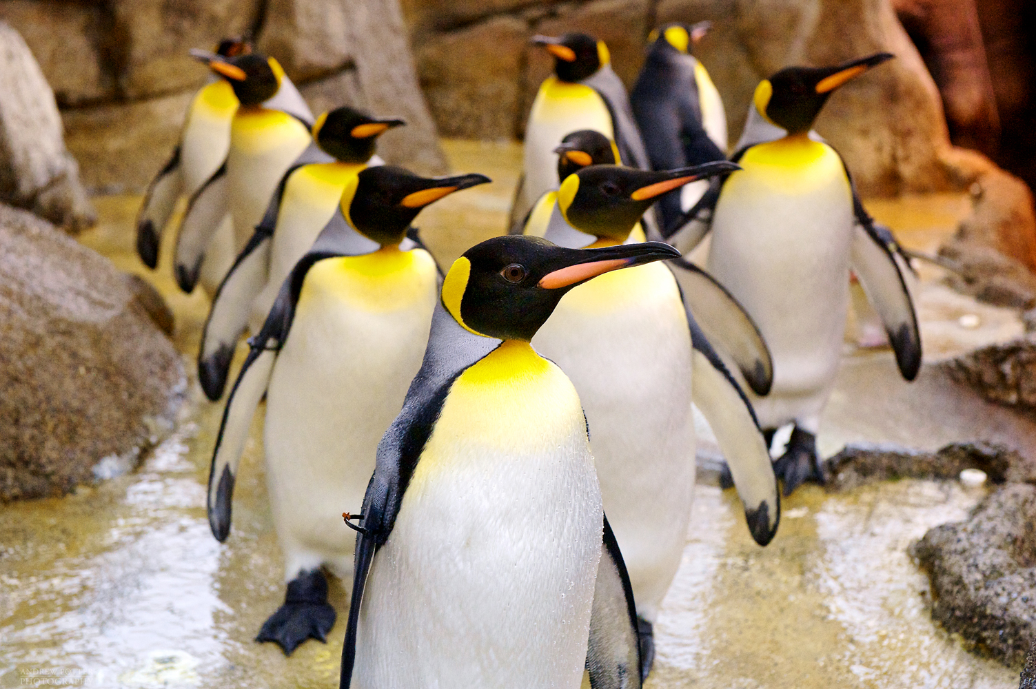 Penguin-AP1Web.jpg