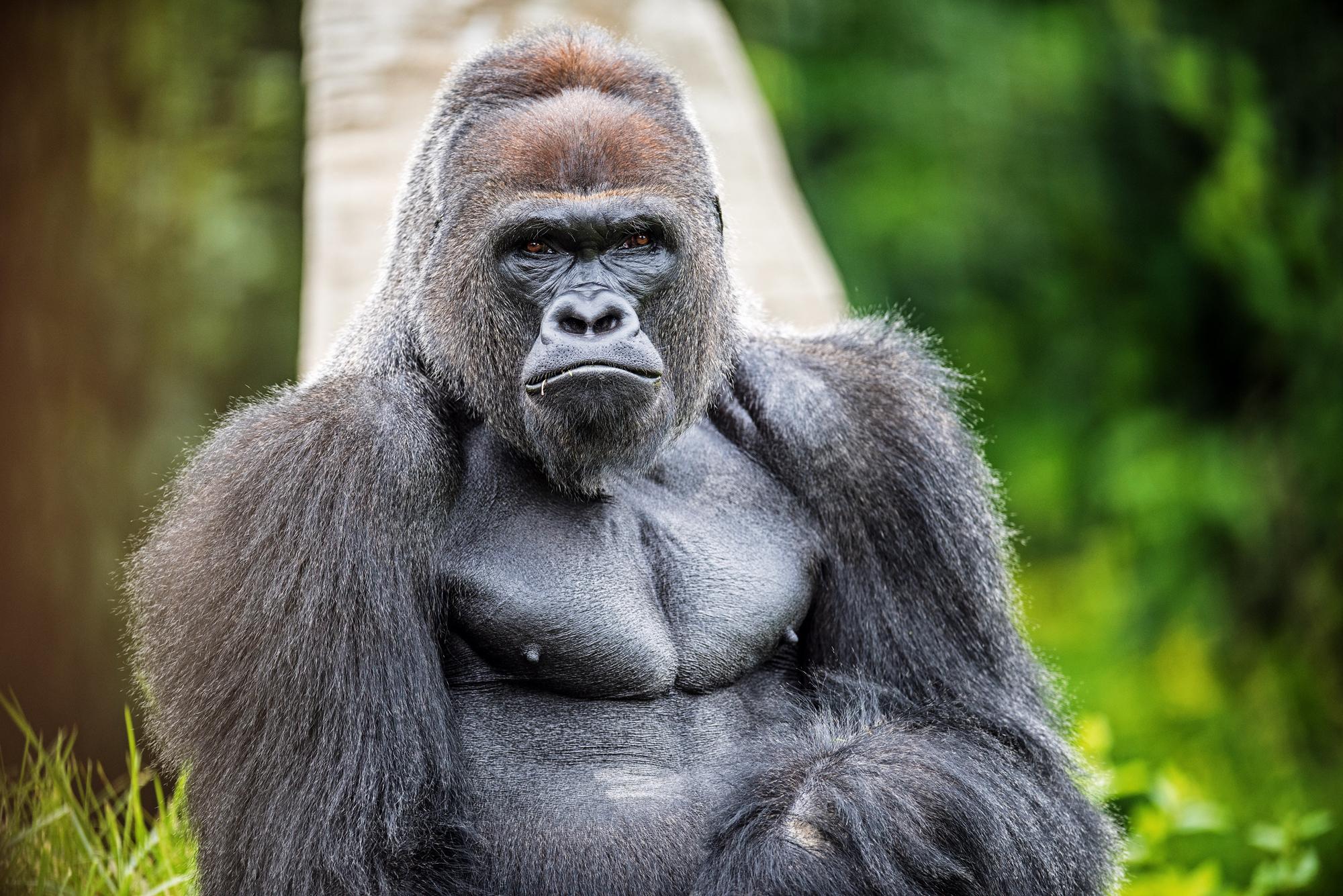 GorillaDetroitZoo-AP1w.jpg