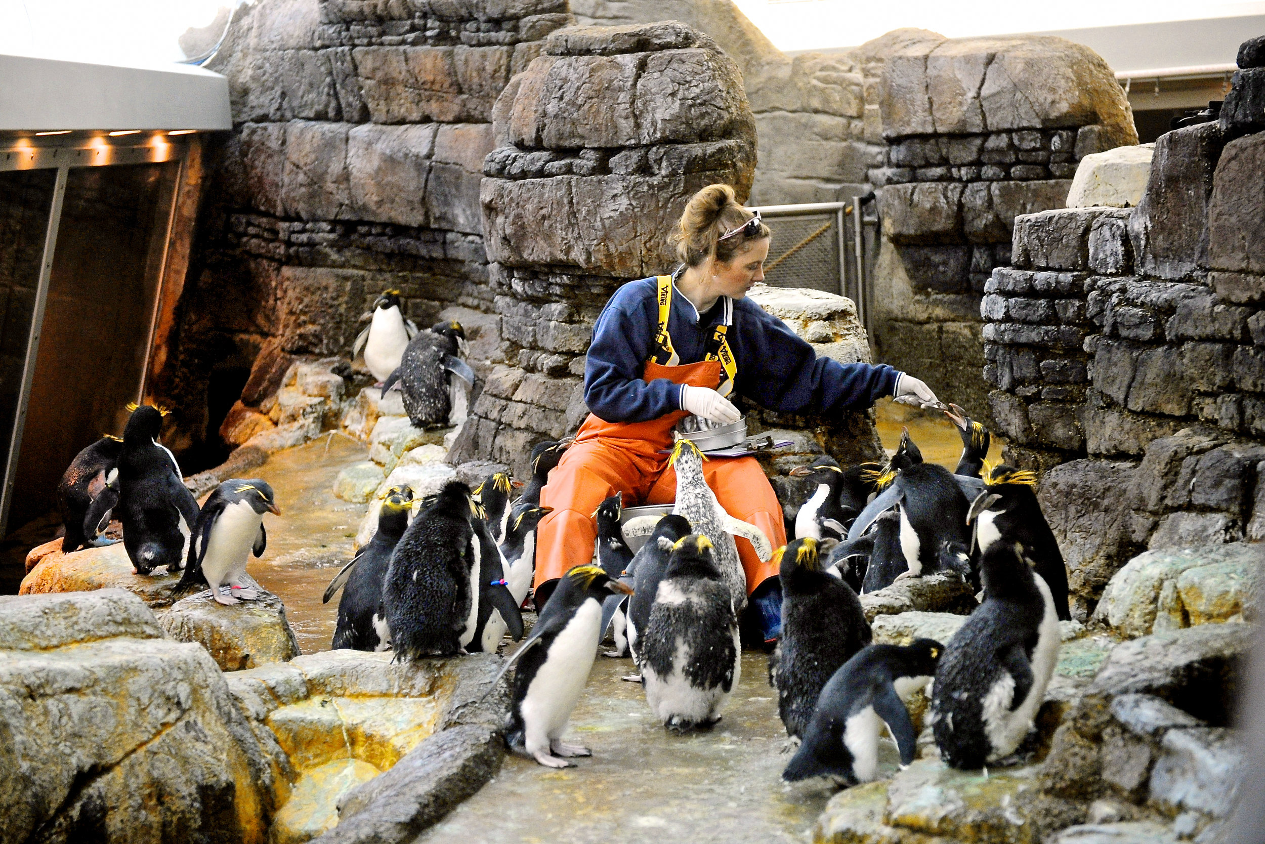 Sara Baer Detroit Zookeeper, feeds penguins, Penguin; detroit; zoo; exhibit; arctic; south; pole; birds; wildlife; photography; photographer; nature; king; yellow; suit; tux, sardine,