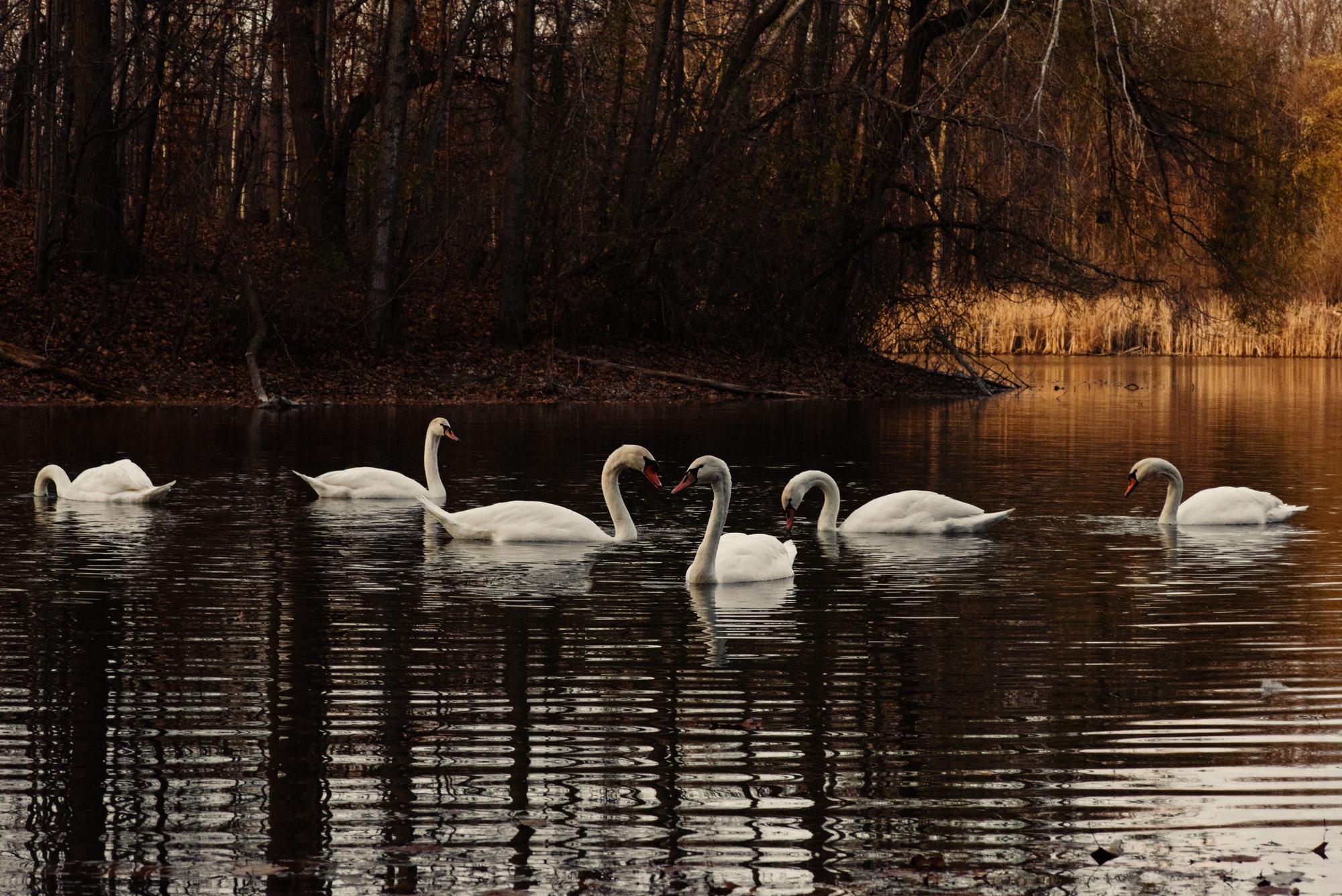 Swans2016-APFW.jpg