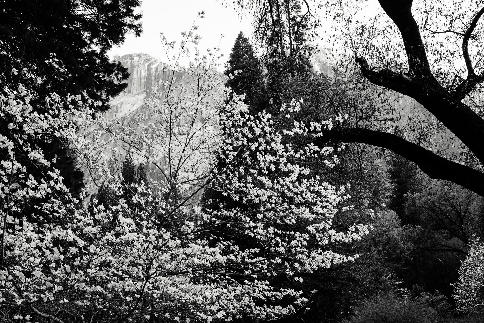 CaliforniaDogwood-APFW.jpg