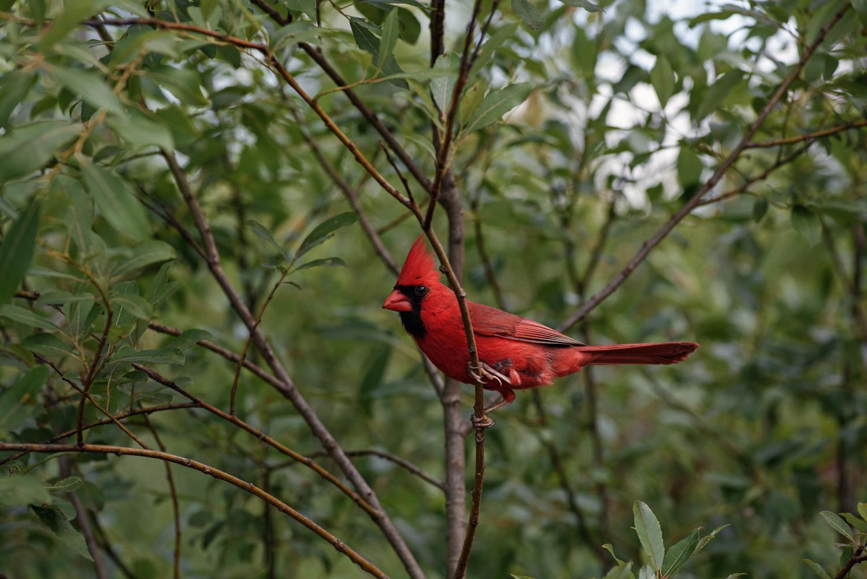 Cardinal-AP2w.jpg