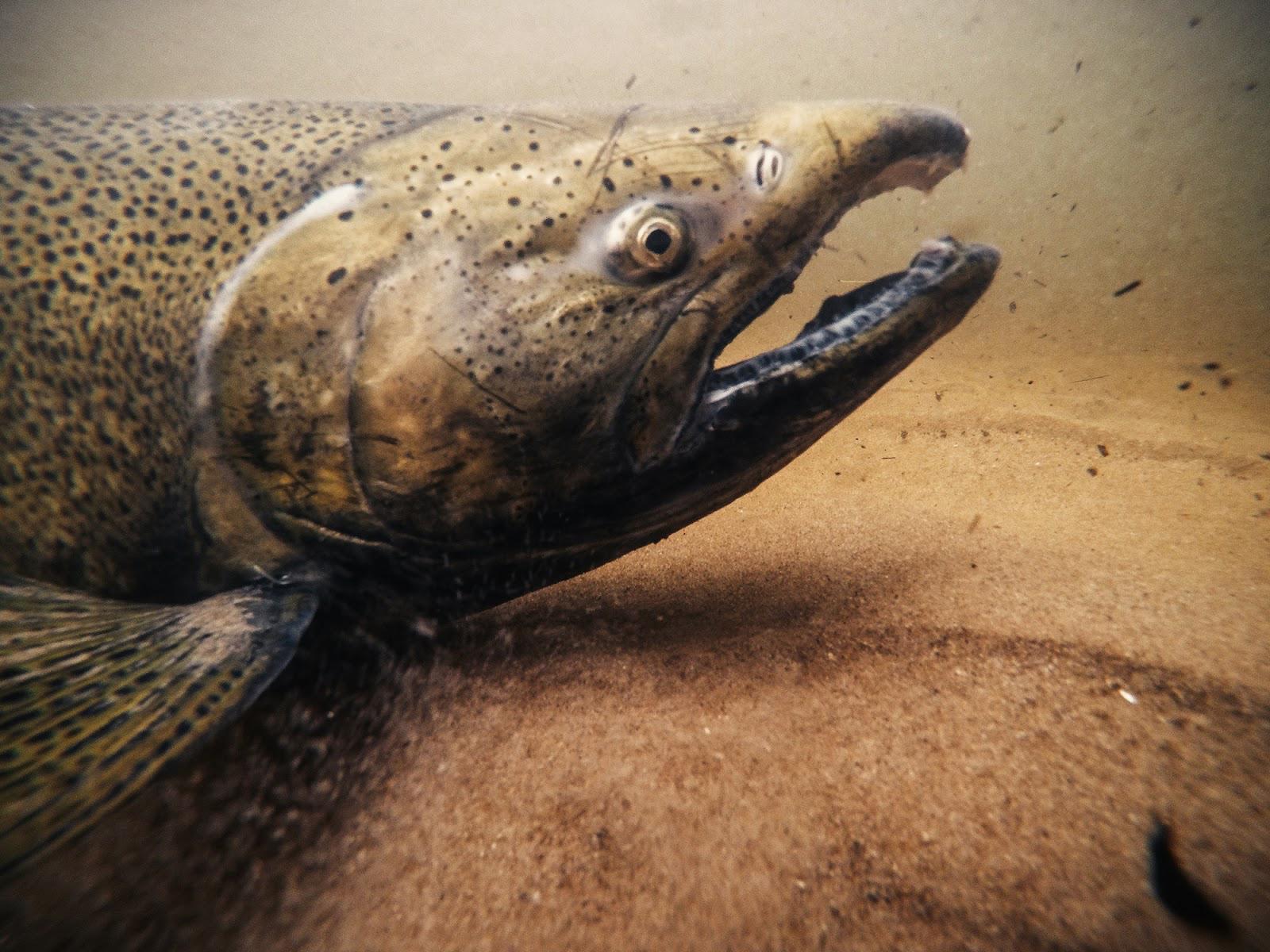 SalmonPereMarquette-APW.jpg