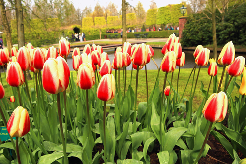 Holland's Iconic Tulips