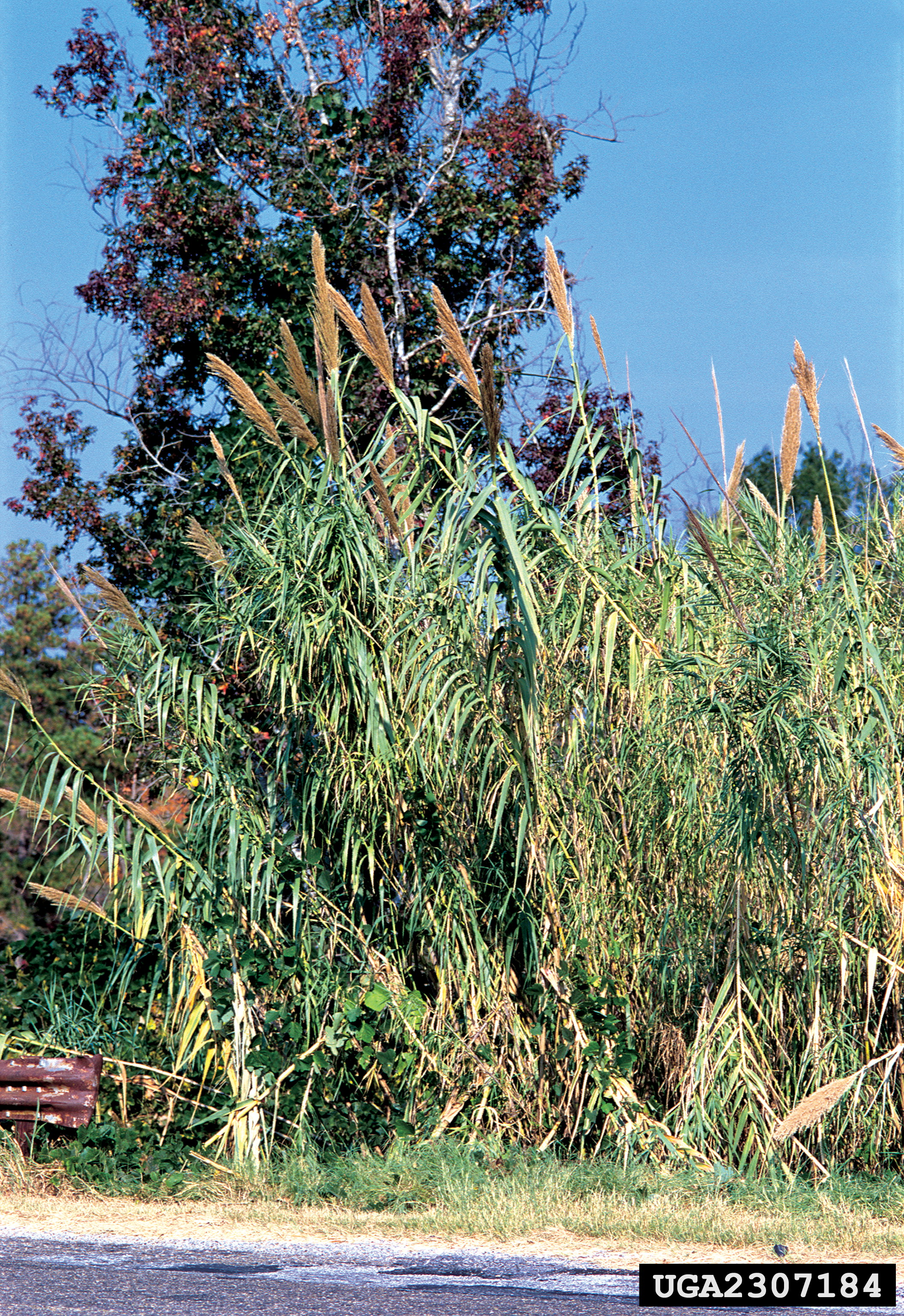 Giant Reed