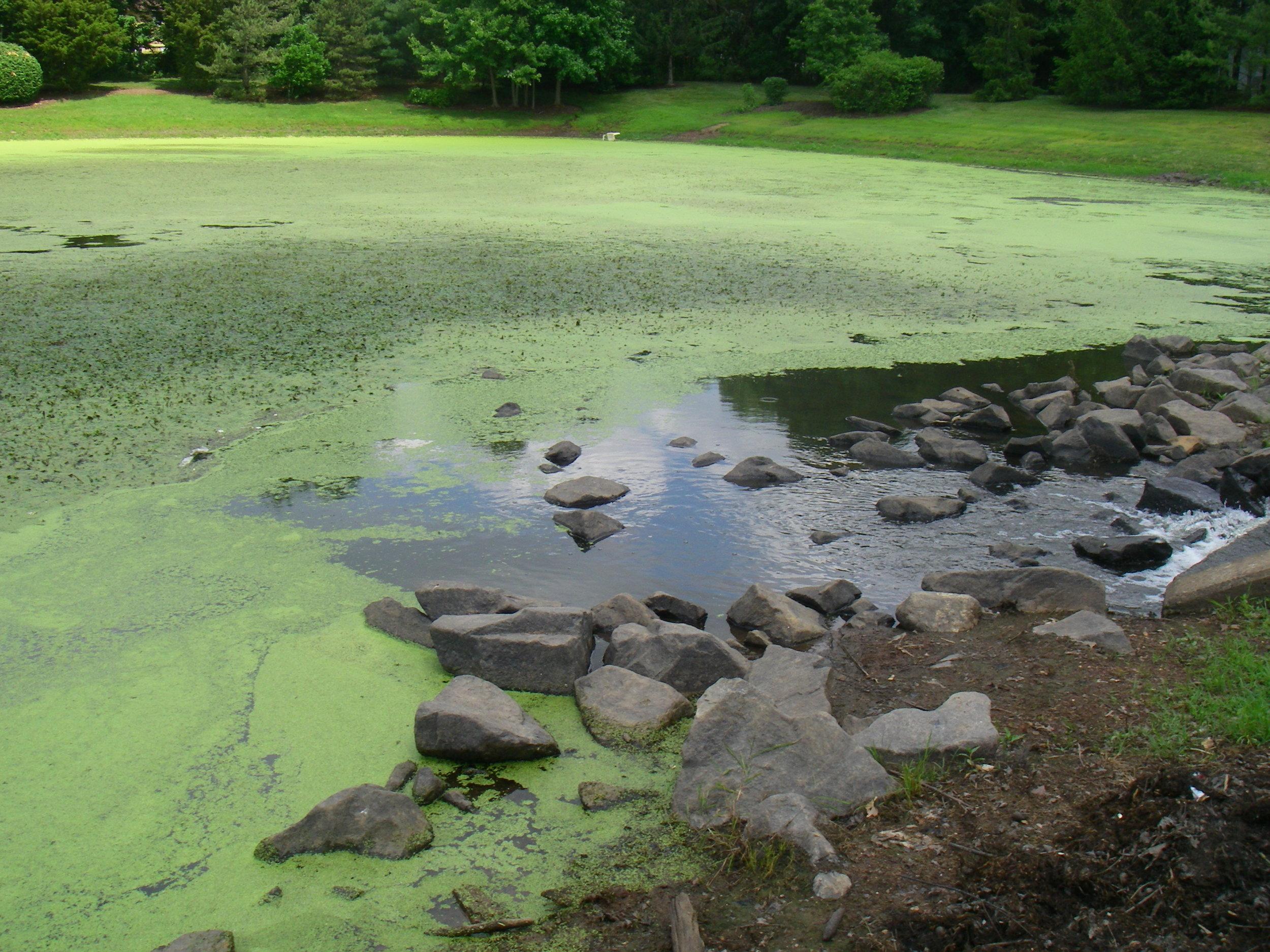 excessive algae growth in pond