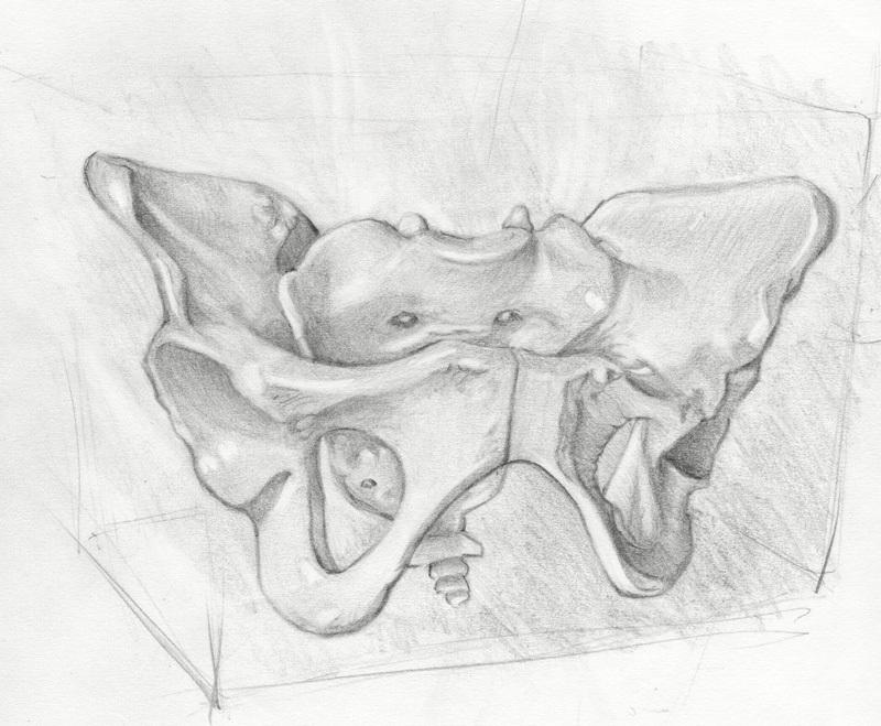 Female Pubic Bone