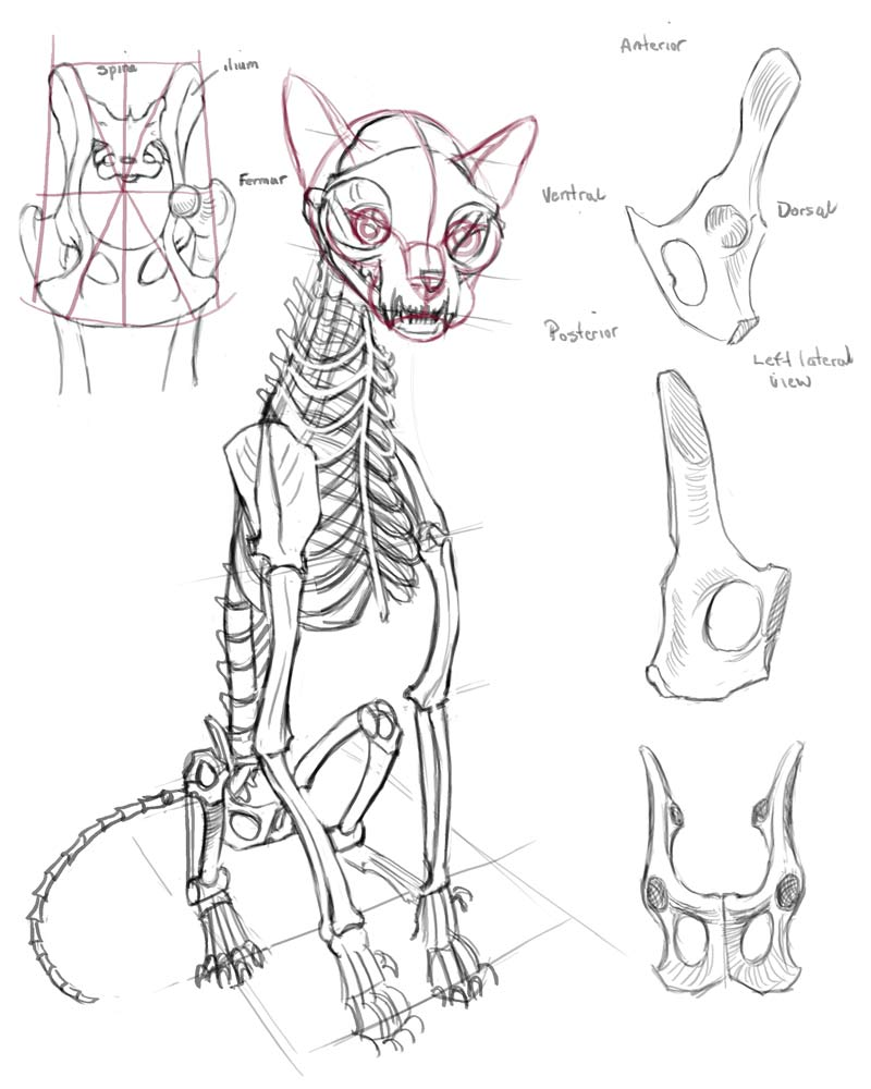 Rina-Rozsas-cat-skeleton-studies2.jpg
