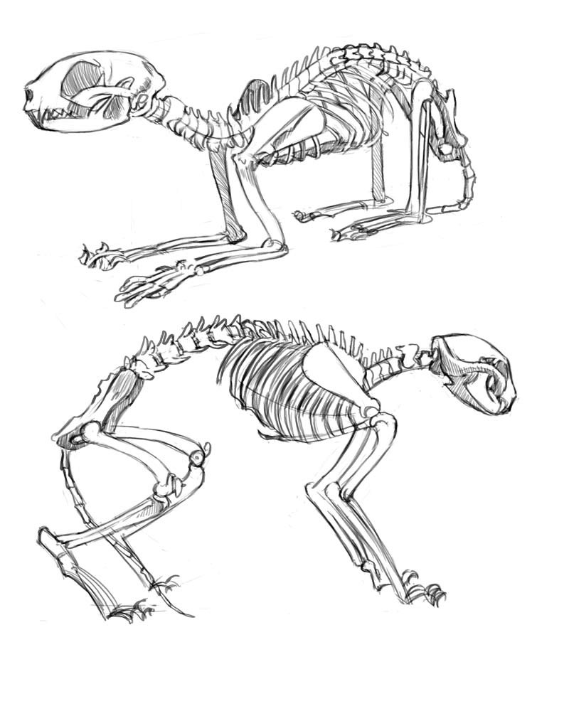 Rina Rozsas cat skeleton studies.jpg