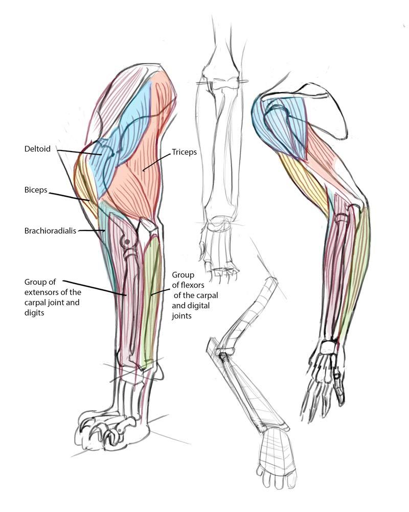 Rina-Rozsas-cat-anatomy-front-leg.jpg