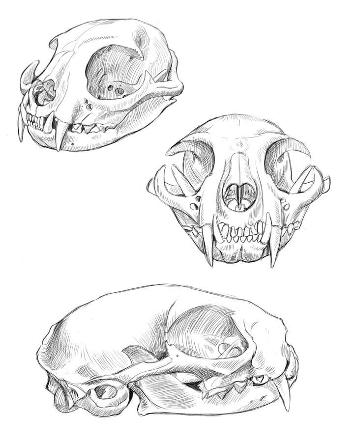 Cat skull studies