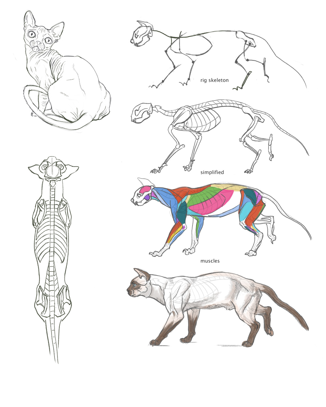 Cat Anatomy Study