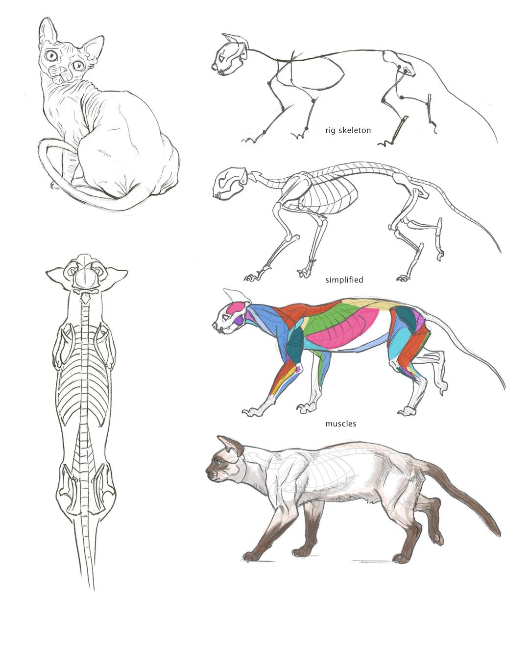 Cat Anatomy Study