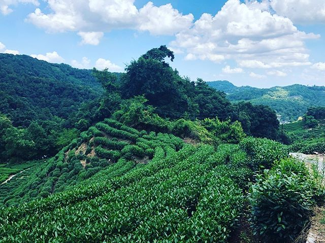 tea farm in hangzhou — home of dragonwell 🌱 life dream to visit! 😍