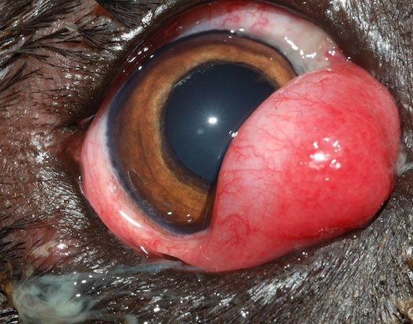Cherry eye.jpeg