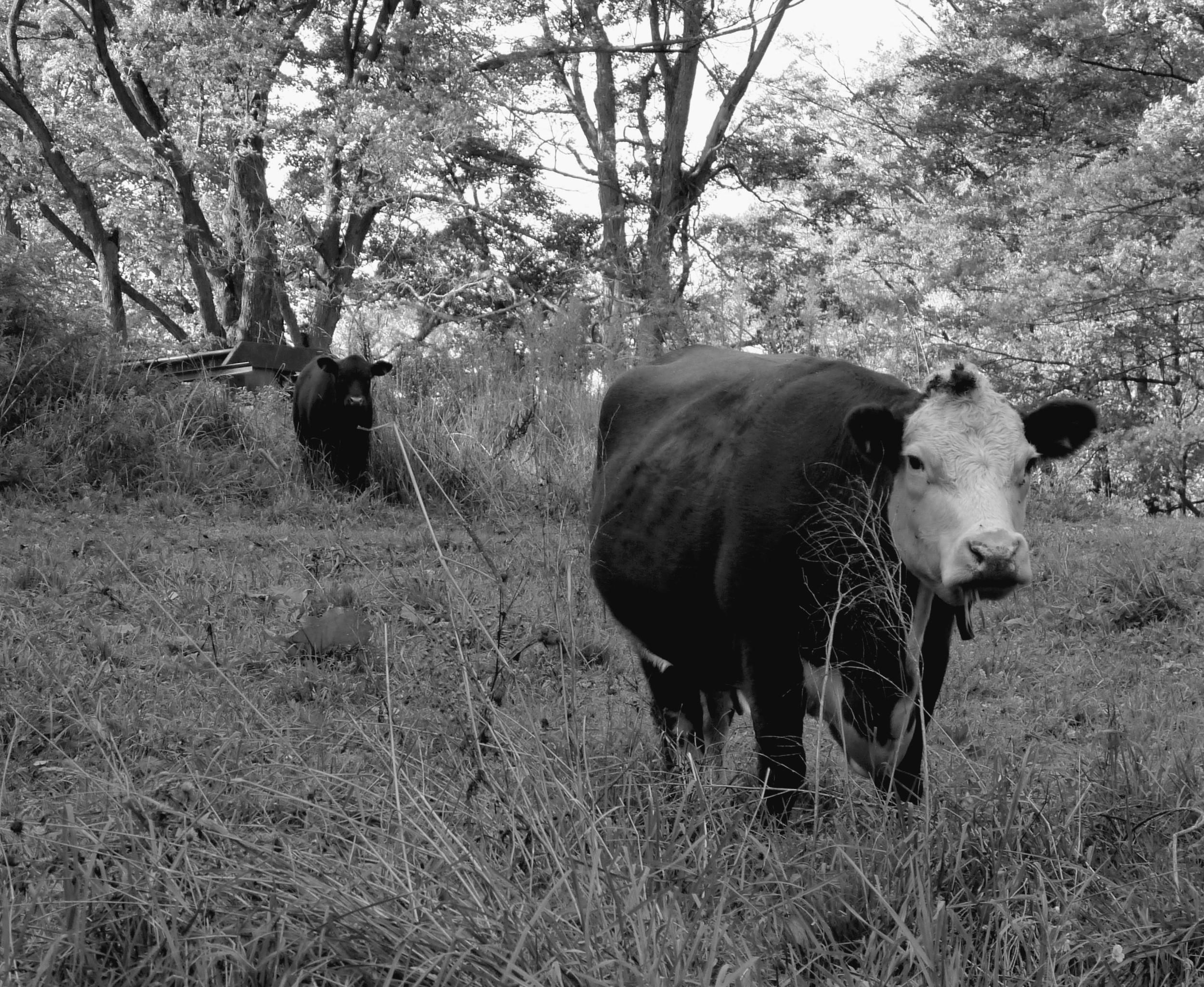 Deanna Dorangrichia  ,  Cow and Calf, New Milford, PA
