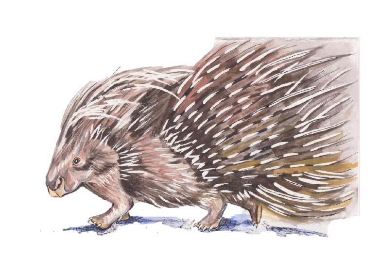Deanna Dorangrichia , Porcupine