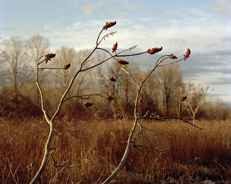 Tema Stauffer ,  Winter Sumac Branches, Germantown, New York, 2016    (photograph)