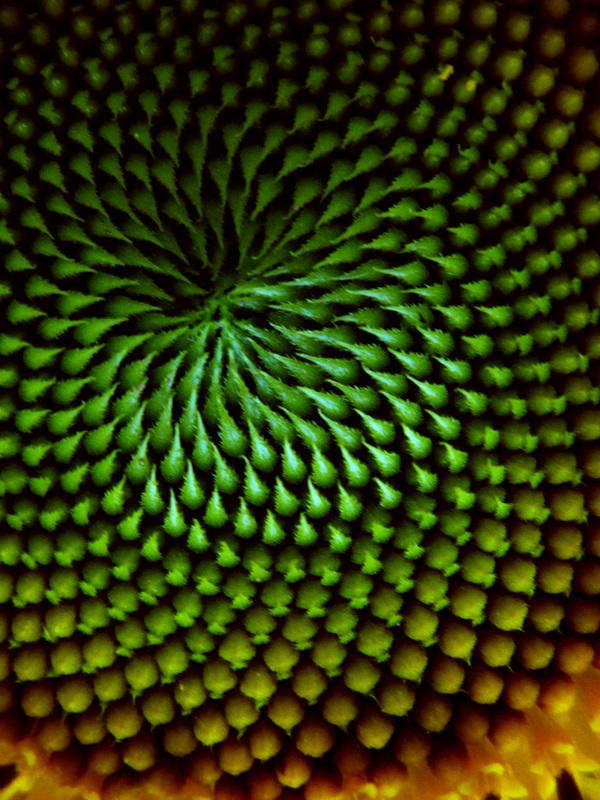 Paul Bilger ,  Sunflower (digital photograph)