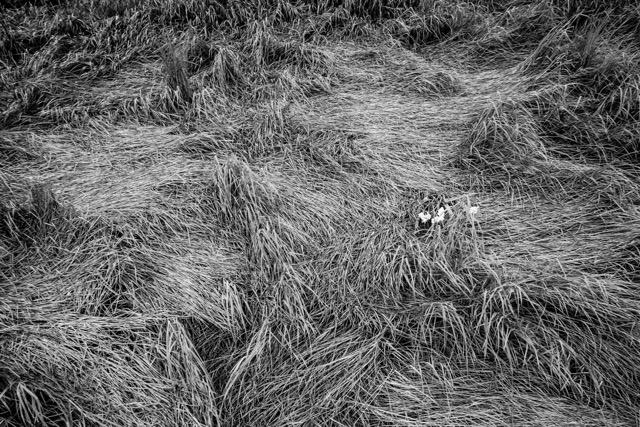 Diego Enrique Flores ,  Grass I   (photograph)