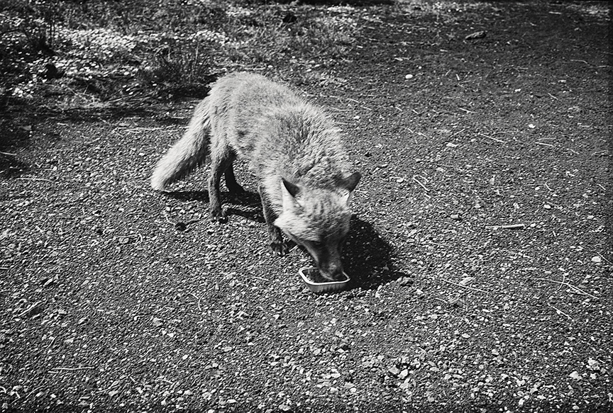 Williamson Brasfield ,      Injured Fox with Cat Food, from  Cathedrals in the Desert , 2016  (photograph)