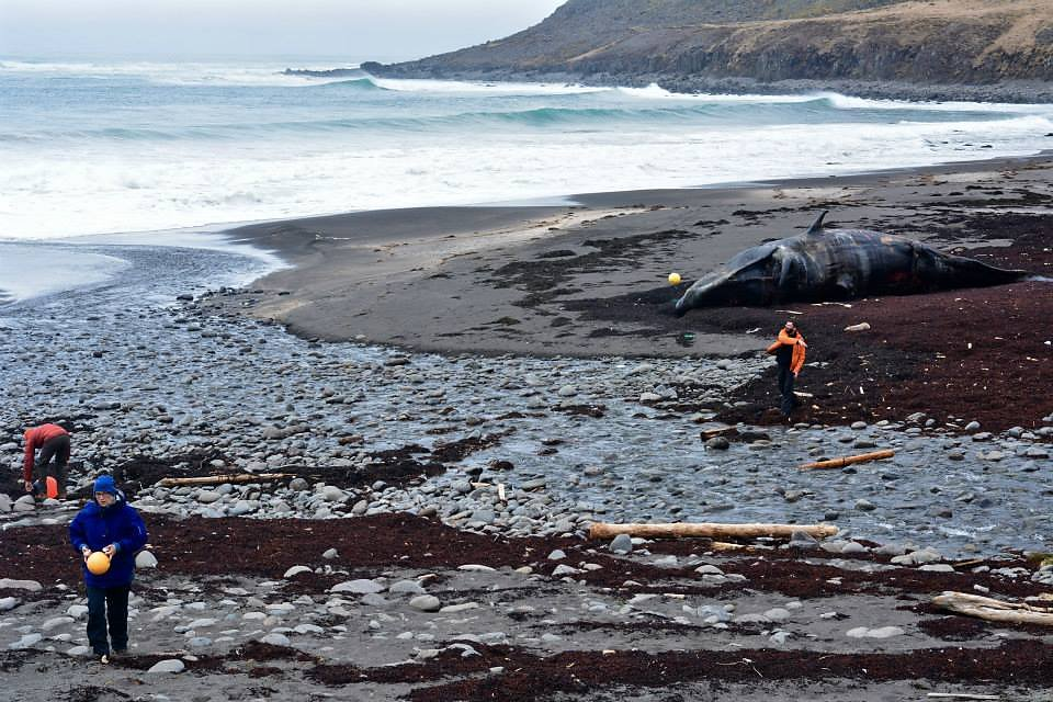 Beach clean with stranded Sperm Whale