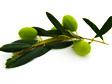 olives seeds.jpg