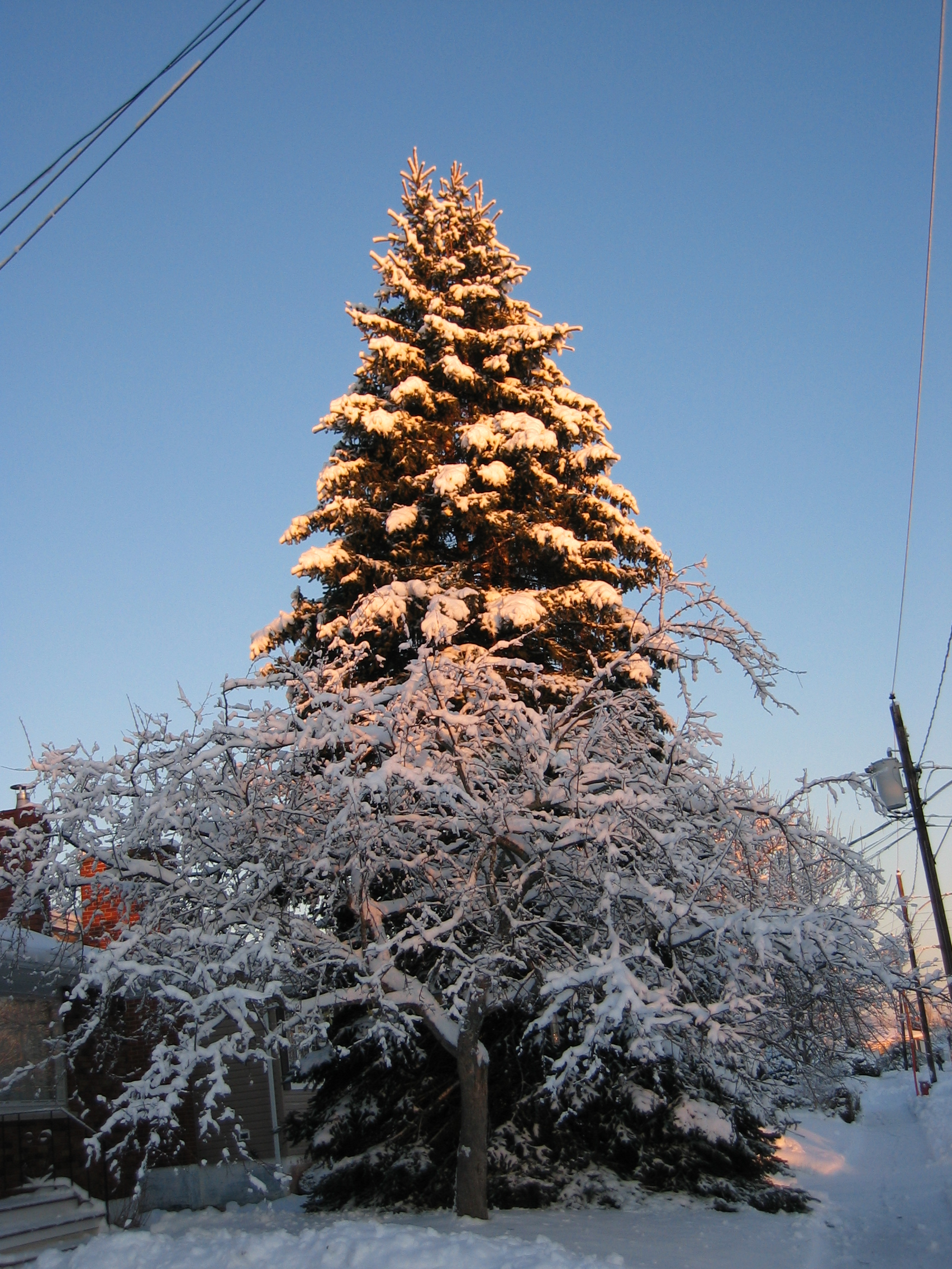 Sunlit Pine Tree