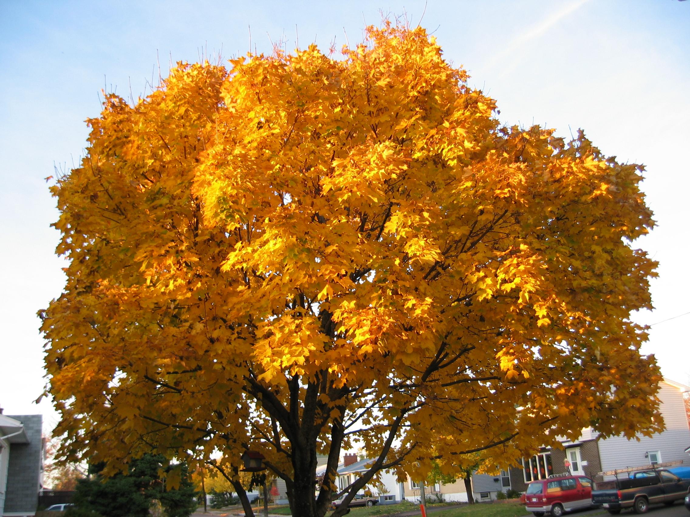 Mega Maple Tree