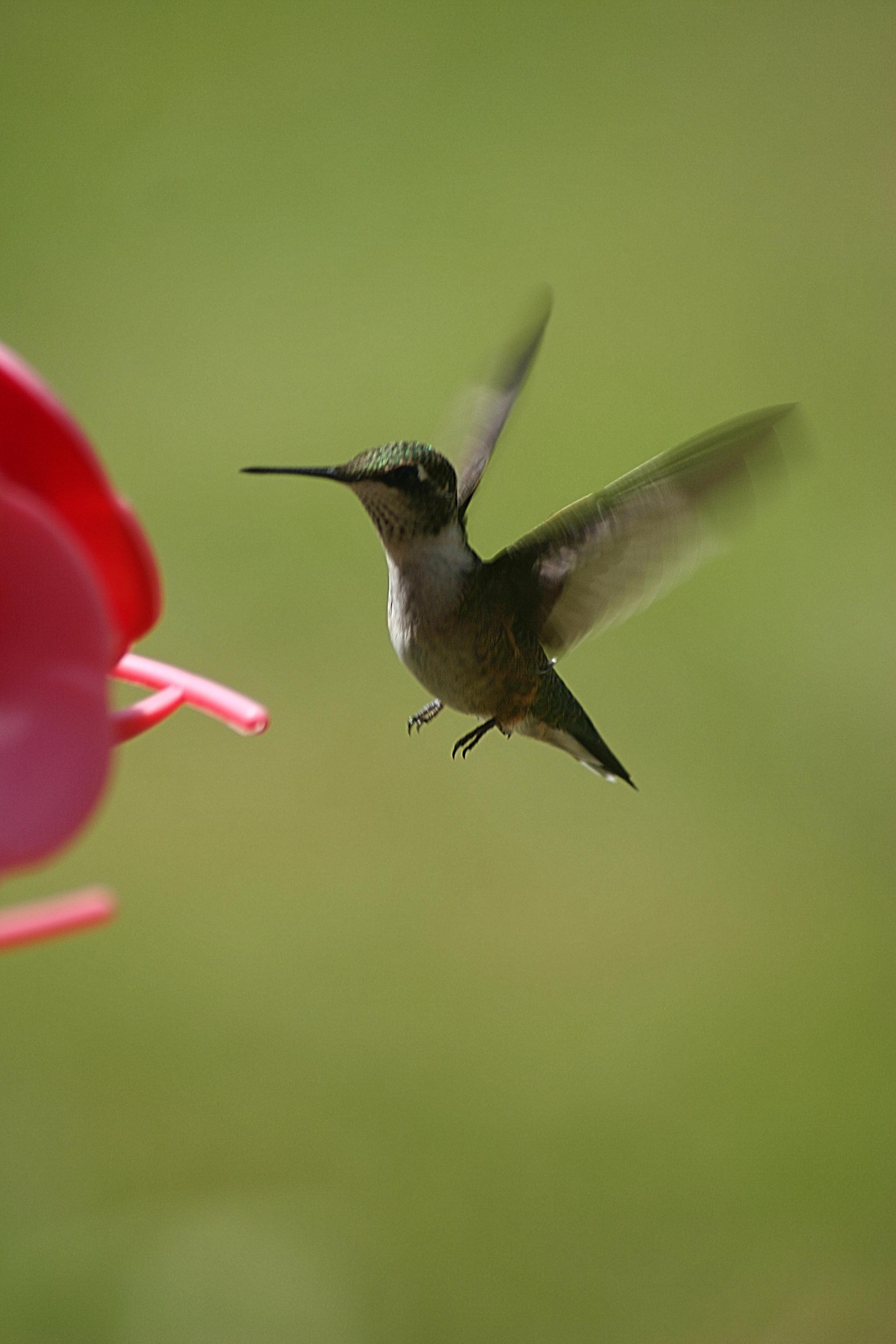 Mid-Air Humming Bird