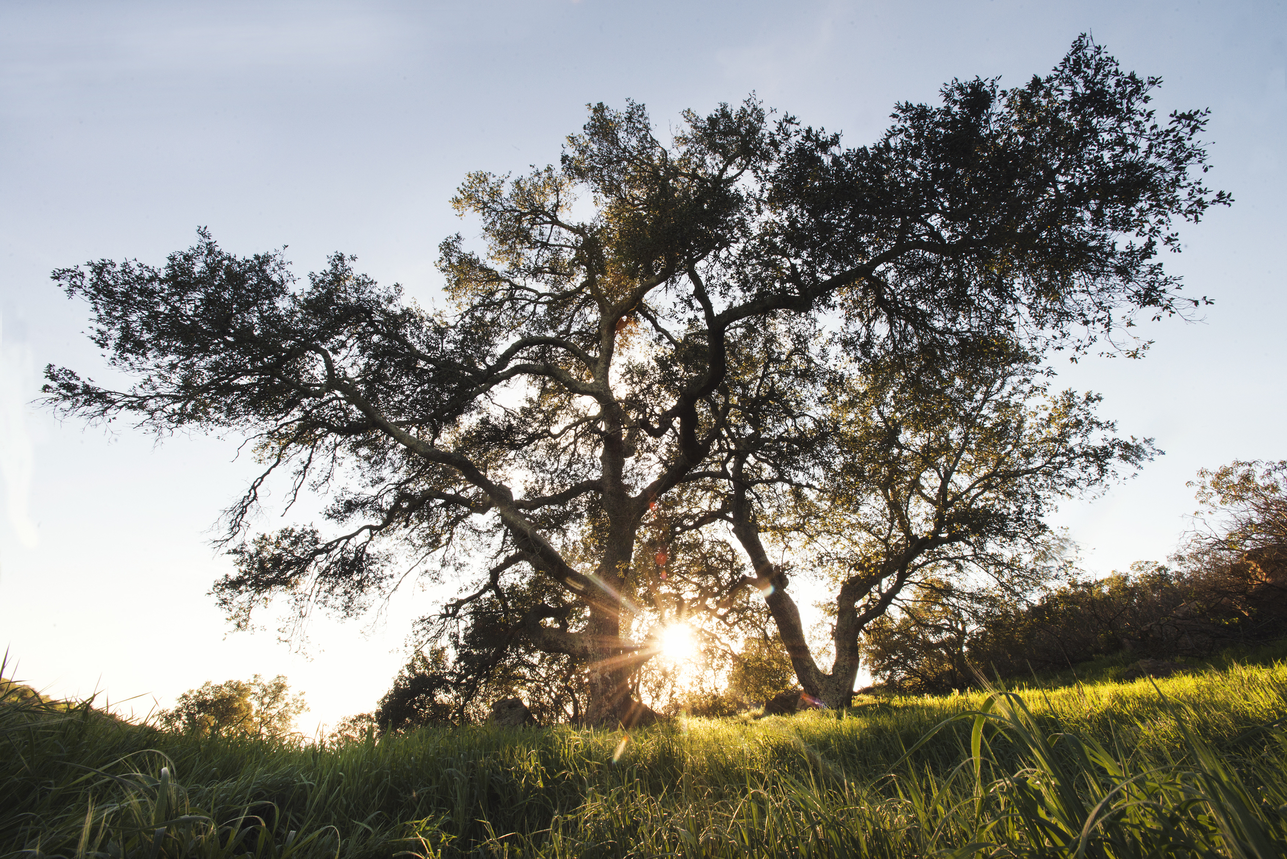 Oak trees in Charmlee park in the Santa Monica Mountains.