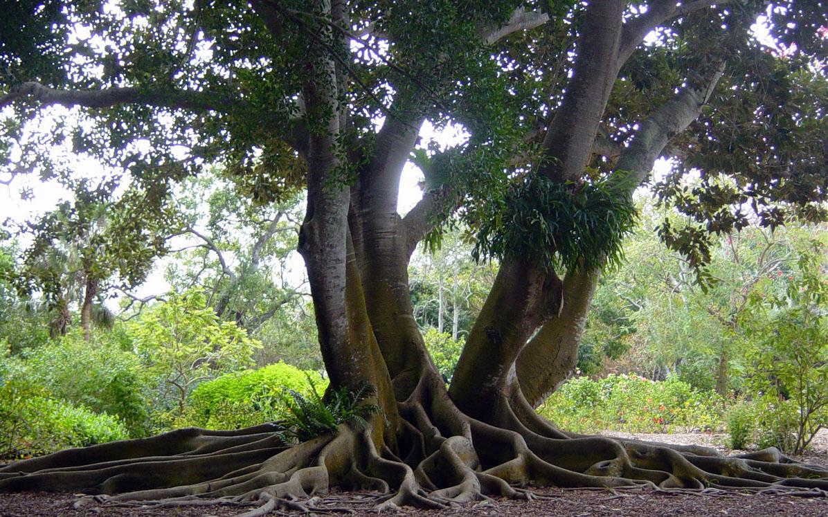 australian-banyan-tree-web.jpg
