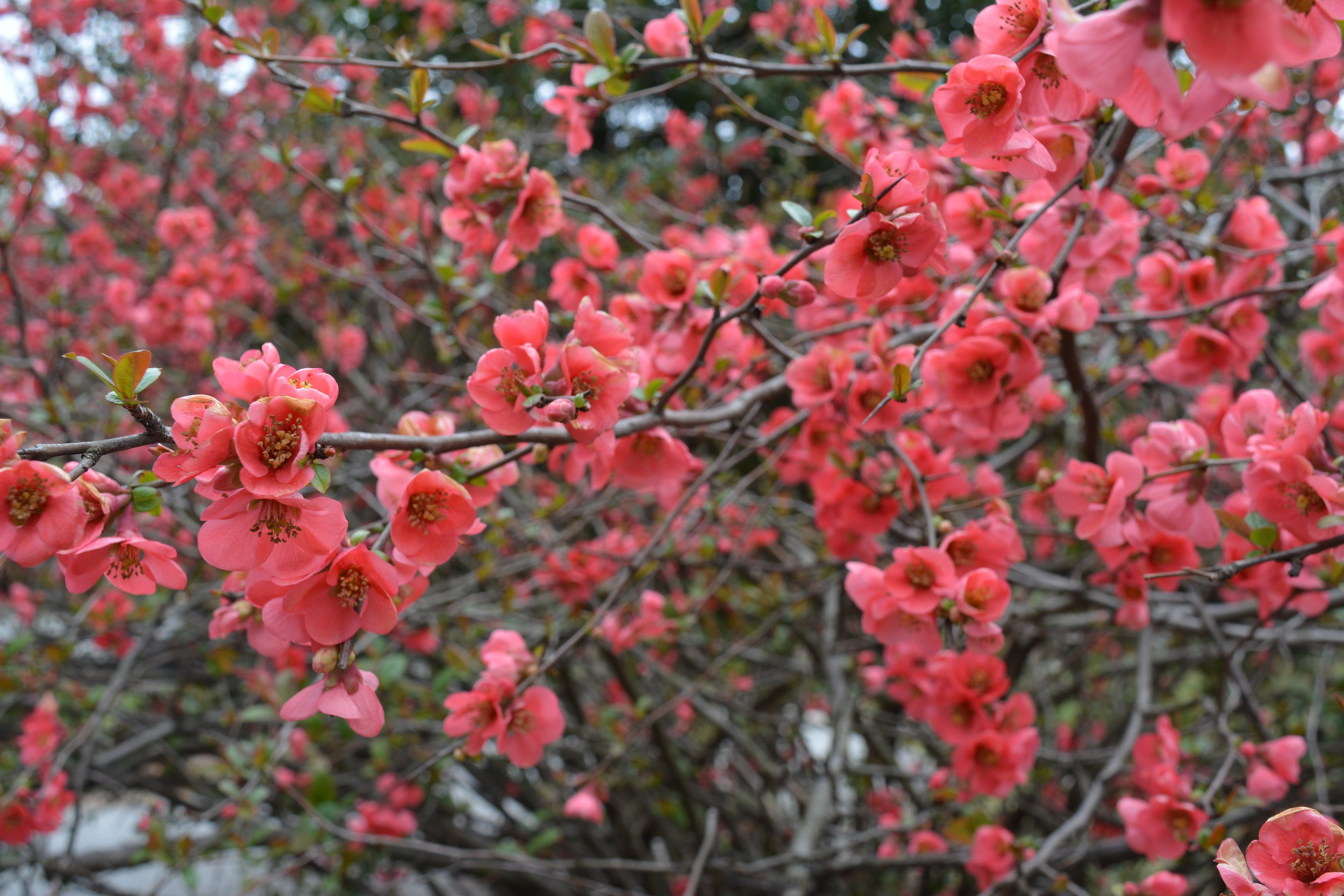 Quince bloom - Intreegue Design