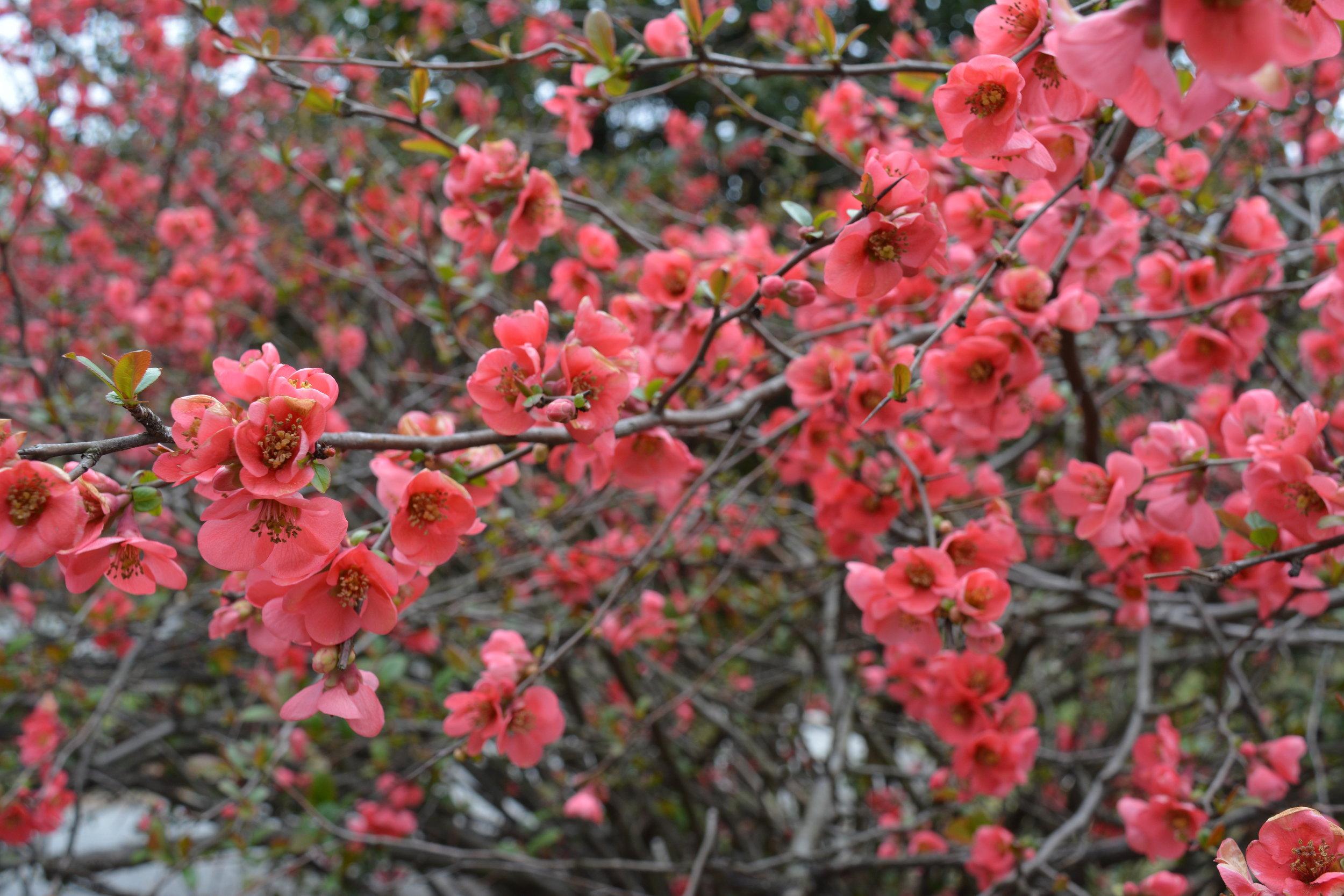 Quince bloom - Intreegue Design