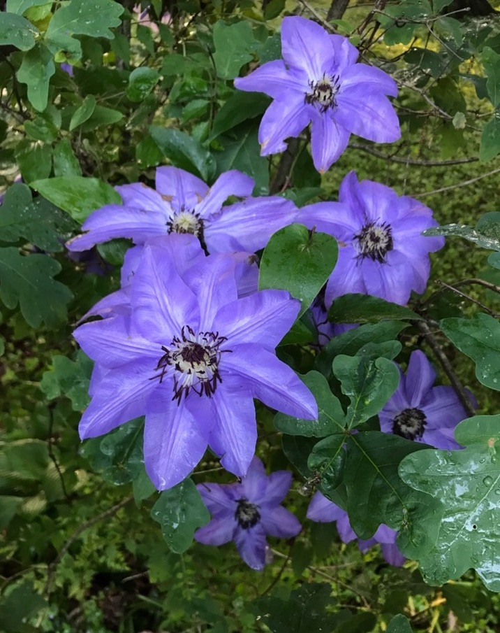 Clematis bloom - Intreegue Design.jpg
