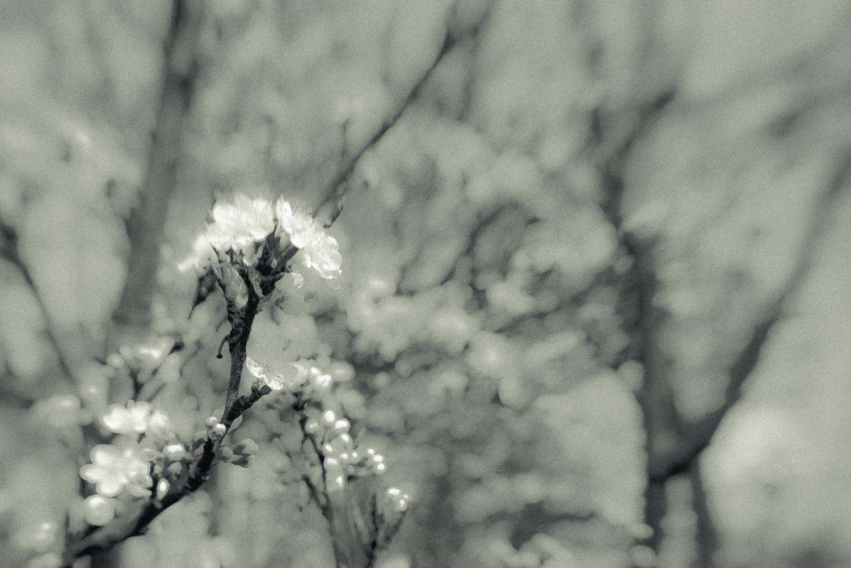 Kirschblüte-002.jpg