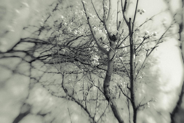 Kirschblüte-001.jpg