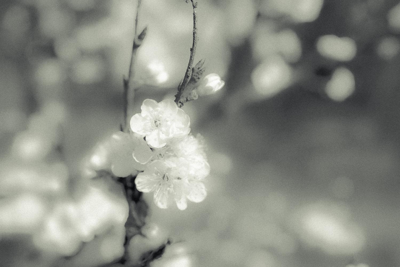 Kirschblüte-003.jpg