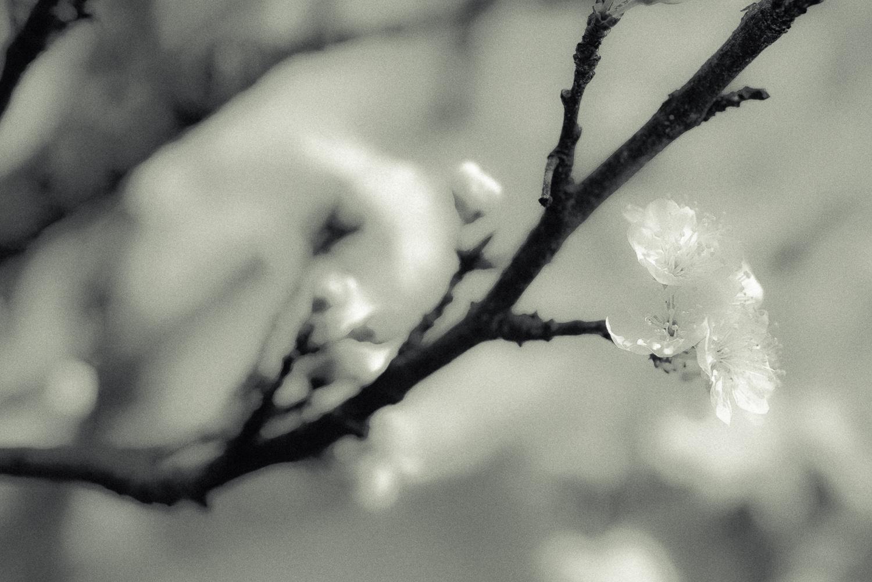Kirschblüte-005.jpg